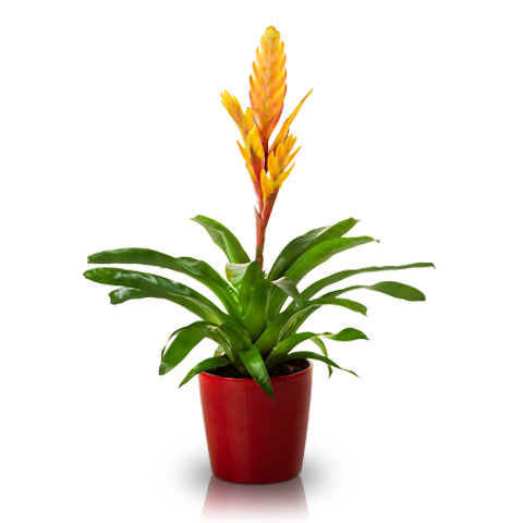Image of Bromelia: yellow
